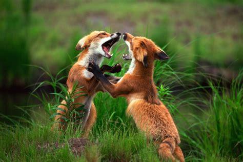 fox animal planet