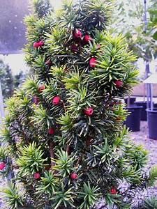 Evergreen Trees For Sale  Eugene