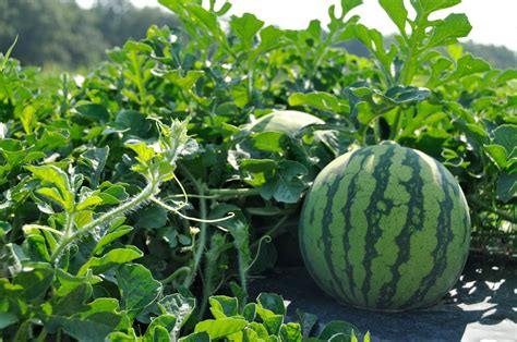 Clemson researchers emphasize fungicides in fight against ...