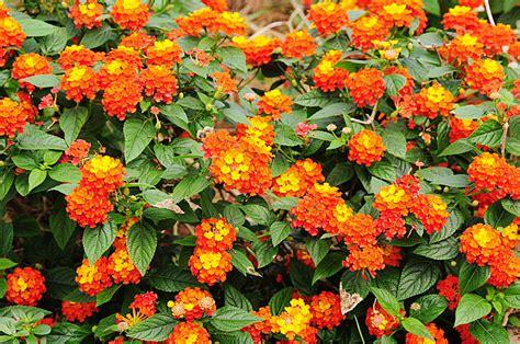 lantana plant lantana