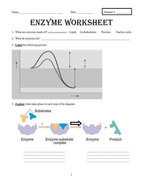 Enzymes Worksheet Answers  Kidz Activities