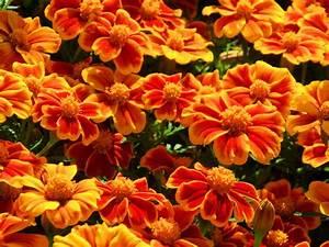 Orange flowers for your garden - Saga