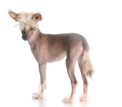 chinesischer schopfhund hunde informationen zu den