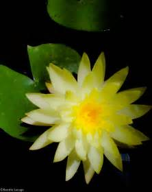 Peace Lotus Flower