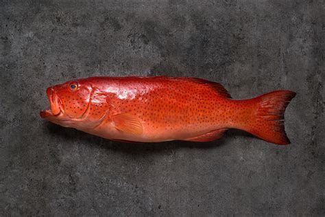 grouper vs snapper taste desktop recipe pearly whi attractive skin its wallpapers