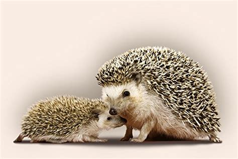 what heat l to use for hedgehogs hedgehogs 36x54 giclee gallery print wall decor travel