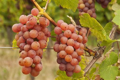 gewurztraminer wines origins  food pairing ideas