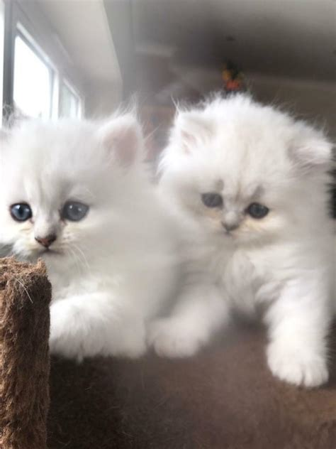 Kittens For Sale by White Chinchilla Kittens For Sale In