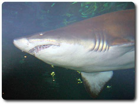 sand shark     species  shark shark