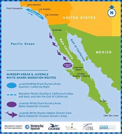 Shark Baja Migration California Sharks Nursery Southern