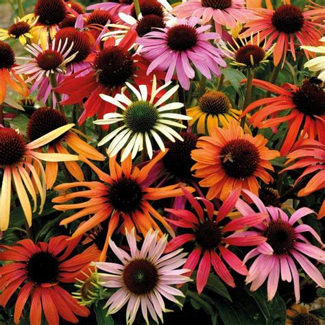 perennial shrubs sun echinacea x hybrida magic box coneflower flowers july sept full sun hardy perennial yard