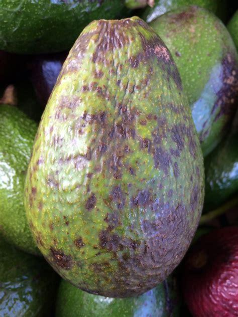 avocado persea americana anthracnose caused  colleto