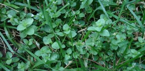 How to Control Weeds in Your Lawn   Today's Homeowner