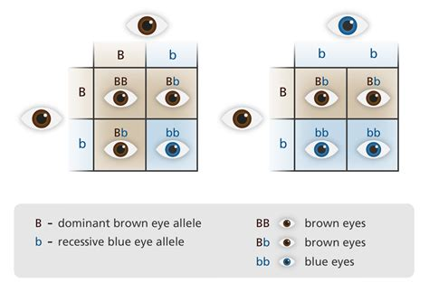 punnett square eye color what is inheritance facts yourgenome org