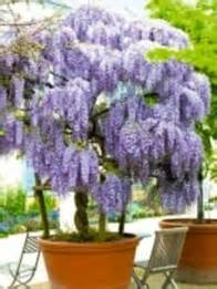 can you grow wisteria in a pot f f info 2017