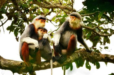 slender rare primate species protected  da nang news