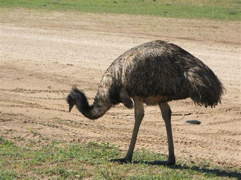 emus at monarto zoo south australia trevor s birding