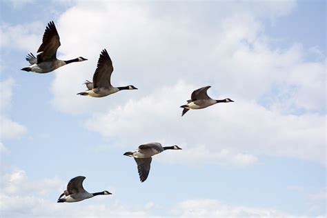 do birds fly at why do birds fly in a v formation