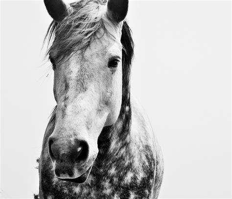 horse dapple dappled gray domain publicdomainpictures