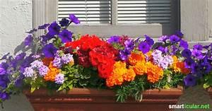 Blumen Für Den Balkon : essbare bl ten f r balkon und terrasse ~ Lizthompson.info Haus und Dekorationen