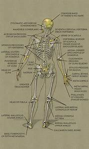 Bones And Surface Landmarks