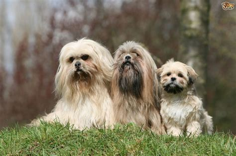 lhasa apso breed shedding grooming styles for the lhasa apso pets4homes