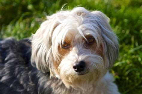 Small White Non Shedding Breeds by Non Shedding Small Dogs Freetonia Zone