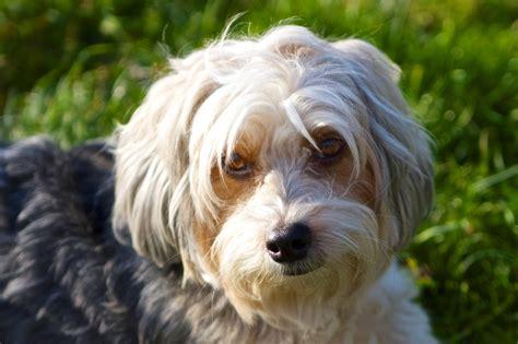 small white non shedding breeds non shedding small dogs freetonia zone