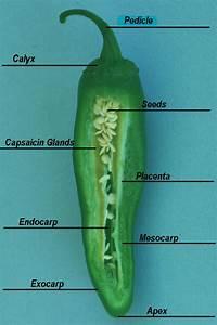 Capsicum Species Identification