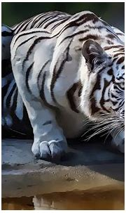 tiger, White Tigers, Animals, Artwork, Drawing Wallpapers ...
