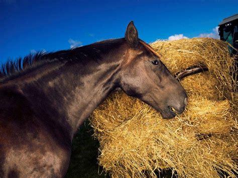 horse herbivore starch horses sugar diabetestalk