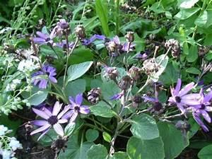Winterharte Stauden Lila : unbekannte lila aster margerite pericallis hybride pflanzenbestimmung pflanzensuche ~ Markanthonyermac.com Haus und Dekorationen