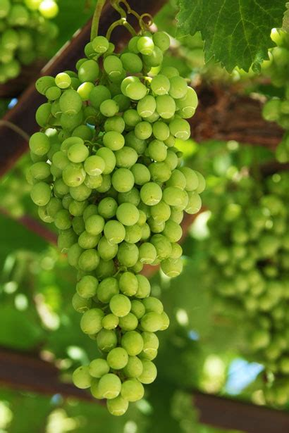 Growing Grapes Free Stock Photo Public Domain Pictures