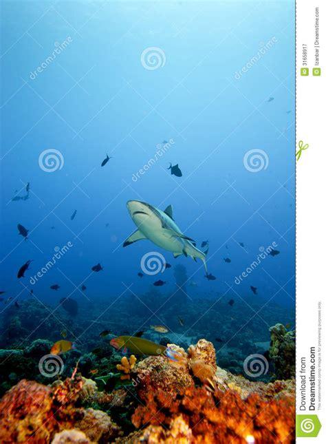 grey shark jaws ready  attack underwater portrait