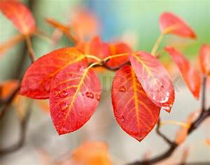 Baum Mit Roten Blättern : rote bl tter der baum im herbst zeit stockfoto colourbox ~ Eleganceandgraceweddings.com Haus und Dekorationen