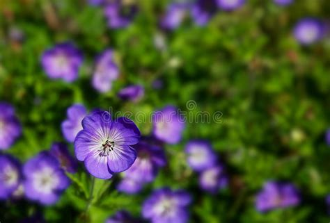 fiori selvatici viola co dei gerani selvatici viola immagine stock immagine