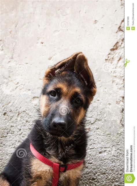 portrait   german shepherd baby dog stock image image