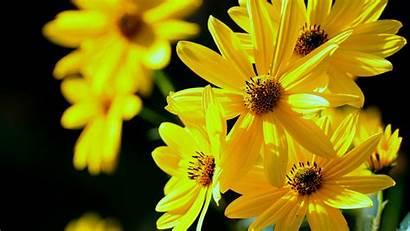 Yellow Flowers Backgrounds Wallpapers 4k Yodobi