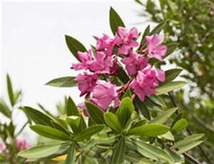 Oleander Hat Gelbe Blätter : oleander hat gelbe bl tter was tun ~ Lizthompson.info Haus und Dekorationen