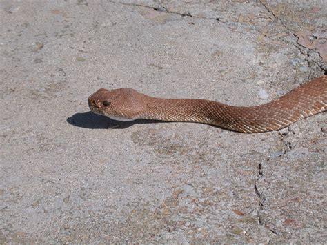 baby rattles rattlesnakes in california