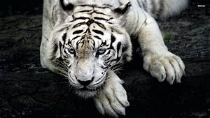 White Tiger Cool Backgrounds Wallpapers 6723 - Amazing ...