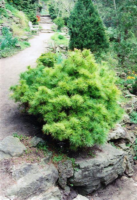 vanderwolfs green globe white pine pinus strobus