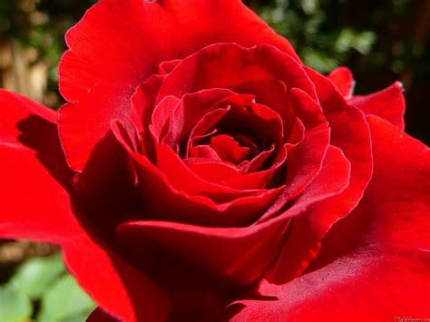 roses best red roses best flowers red rose rose the beautiful red rose rose wallpapers make2fun