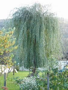 Taille Du Saule Pleureur : taille d arbres wirth paysage ~ Melissatoandfro.com Idées de Décoration
