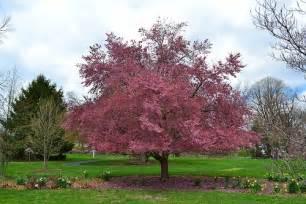 blooming plum tree flowering plum tree 1 pinterest