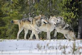Wild GRAY WOLVES  Cani...