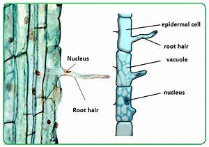 61 Root Hairs And Water Uptake By Plants