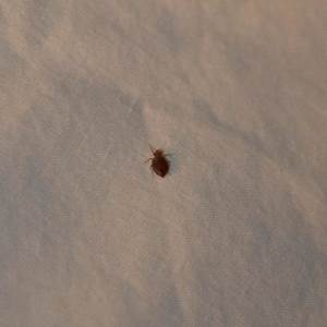 bed bugs florida this is what professionals do moreoo With bed bugs in florida