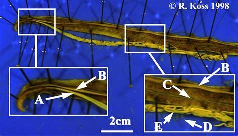 Lab 05 Aschelminth Study Images