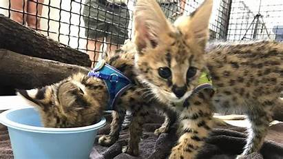 Exotic Pet Trade Illegal Wild Rescued Kittens